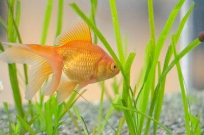 金魚 産卵